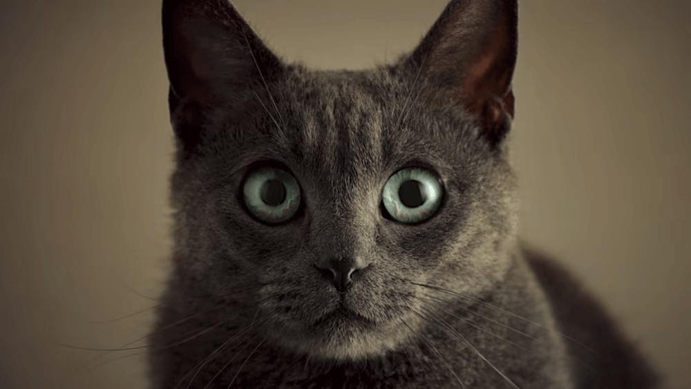 Cat staring towards camera, taken from Sheba commercial.